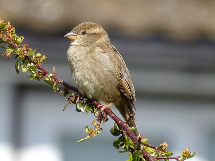 Hedge sparrow perched on a branch Springtime Hedge Sparrow Sparrow Animal Animal Wildlife Bird Animal Themes Animals In The Wild Vertebrate Perching One Animal Plant Focus On Foreground Branch Day No People Nature Close-up Tree Beauty In Nature Outdoors Growth Full Length