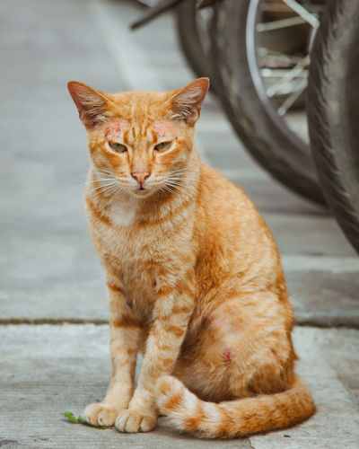 Stray cat Stray Cats Animal Animal Themes Cat Day Domestic Animals Domestic Cat Feline Focus On Foreground Footpath Ginger Cat Looking At Camera Mammal No People One Animal Pets Portrait Sitting Stray Cat Stray Cat Life Stray Cat, Street Cat, Tire Vertebrate Wheel Whisker