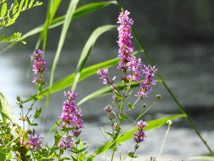 purple loosestrife. a pretty but invasive weed. Pond Pond Life Waters Edge Nature Photography Nature Nature_collection Naturelovers Weed By The Water Flowering Weeds Loosestrife Pink Flower Purple Flowers Flower Head Flower Pink Color Purple Summer Leaf Close-up Plant Landscape Flowering Plant In Bloom Wildflower Lavender Colored Botanical Garden Plant Life Blossom Uncultivated