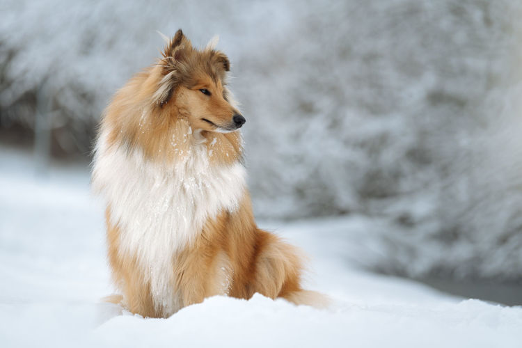 One Animal Mammal Domestic Snow Domestic Animals Dog Canine Pets Animal Themes Animal Cold Temperature Winter Vertebrate White Color No People Looking Looking Away Focus On Foreground Nature Snowcapped Mountain Snowing