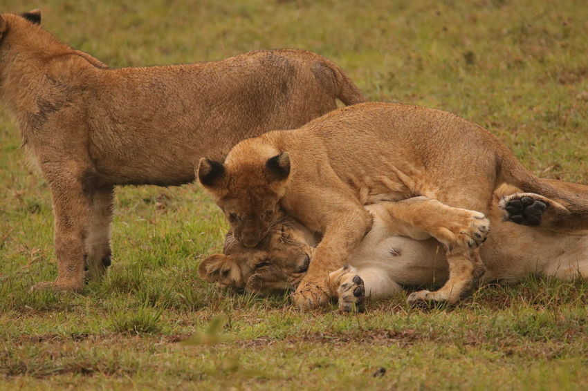Lions playing Animal Themes Animals In The Wild Day Field Grass Lion - Feline Lion Cub Lioness Mammal Nature No People Outdoors Young Animal