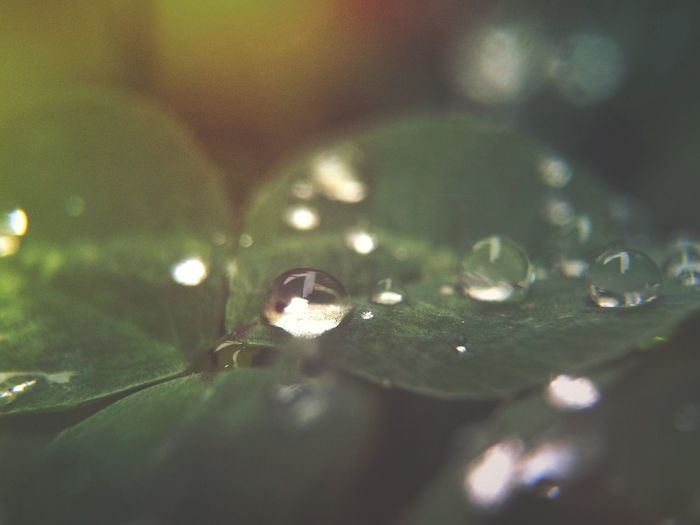 Light 🌟265/366 Leaf Water Drop Close-up Leaf Vein Selective Focus Fragility Dew Nature Green Color Plant Leaves Growth Extreme Close-up Purity Freshness Beauty In Nature Tranquility Day Focus On Foreground 365project Clover Nature Garden Rain