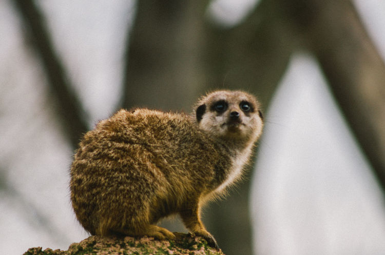 Looking Away Mammal Meerkat Nature One Animal Outdoors Wildlife Young Animal Zoology