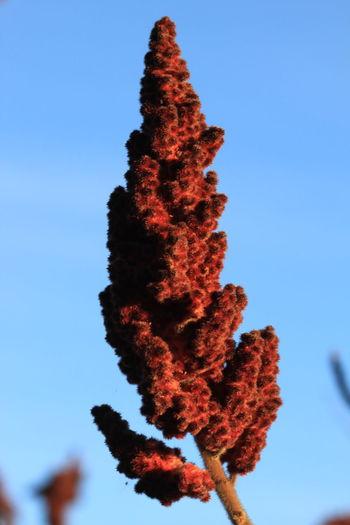 100mm Macro Blue Sky Botany December 2015 Flower Parcines,sudtirol Plant Red Südtirol Wintertime