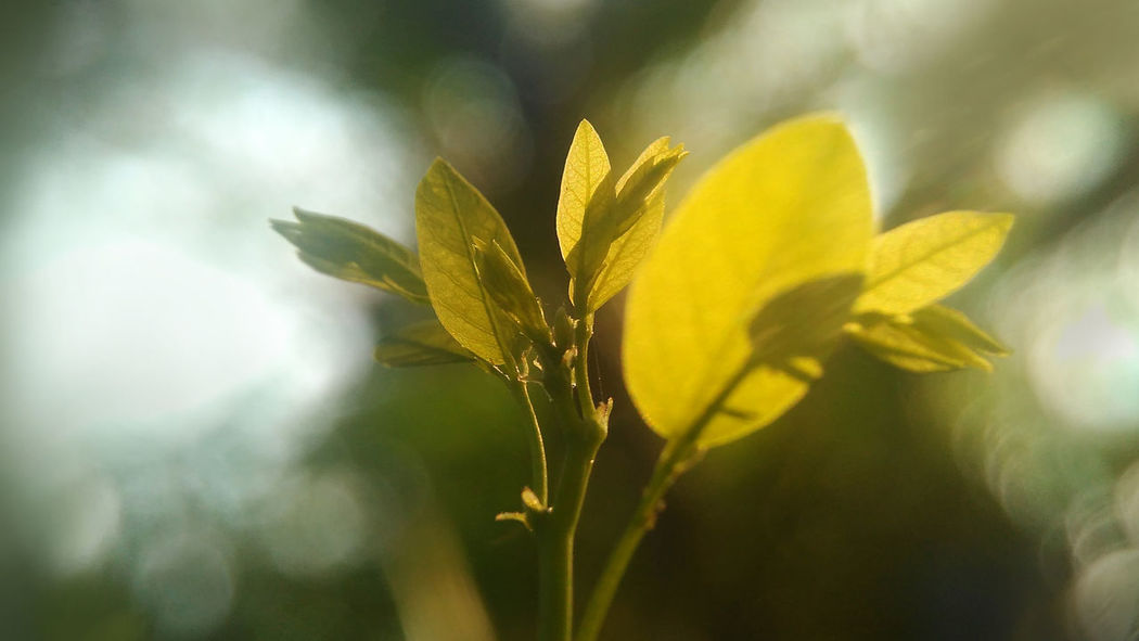 Golden Leaf Golden Leafs Green Green Color Natural Beauty Nature Nature Photography Beauty In Nature Close-up Day Flower Fragility Freshness Golden Leaf Growth Leaf Natur Nature Nature_collection Nature_perfection Naturelovers Naturephotography No People Outdoors Plant Yellow