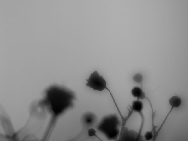 Flowers Nature Blackandwhite Light And Shadow Monochrome Bw_collection EyeEm Nature Lover Shillouette かすみ草