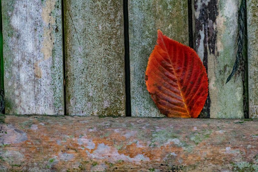 晩秋、初冬か?赤い枯葉の目印。 Autumn Change Close-up Day Leaf Nature No People Outdoors ワビサビ 枯葉 Marketに選択されていません! Marketに選択されていません 😱売る気満々で撮った写真が😔