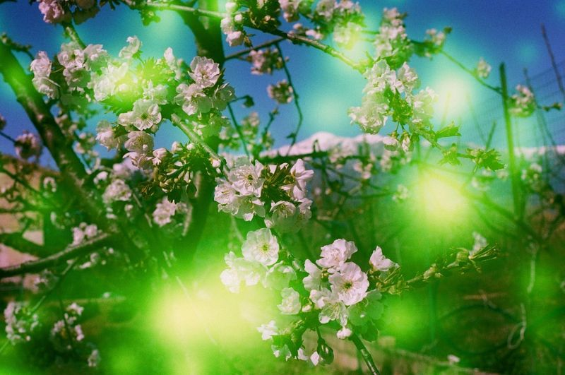 Beauty In Nature Blossom Cherry Blossom Close-up Day Flower Flower Head Flowering Plant Fragility Freshness Growth Leaf Nature No People Outdoors Petal Plant Plant Part Selective Focus Sky Spring Springtime Sunlight Tree Vulnerability