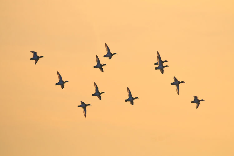 Teal flying by at sunrise Animal Themes Animal Wildlife Animals In The Wild Bird Day Fighter Plane Flying Large Group Of Animals Mid-air Nature No People Outdoors Sky