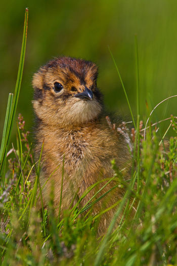 Red Grouse chick first days in life Lagopus Lagopus Scotica Animal Head  Animal Themes Beauty In Nature Chick Cute Nature Outdoors Red Grouse Wildlife Youngster