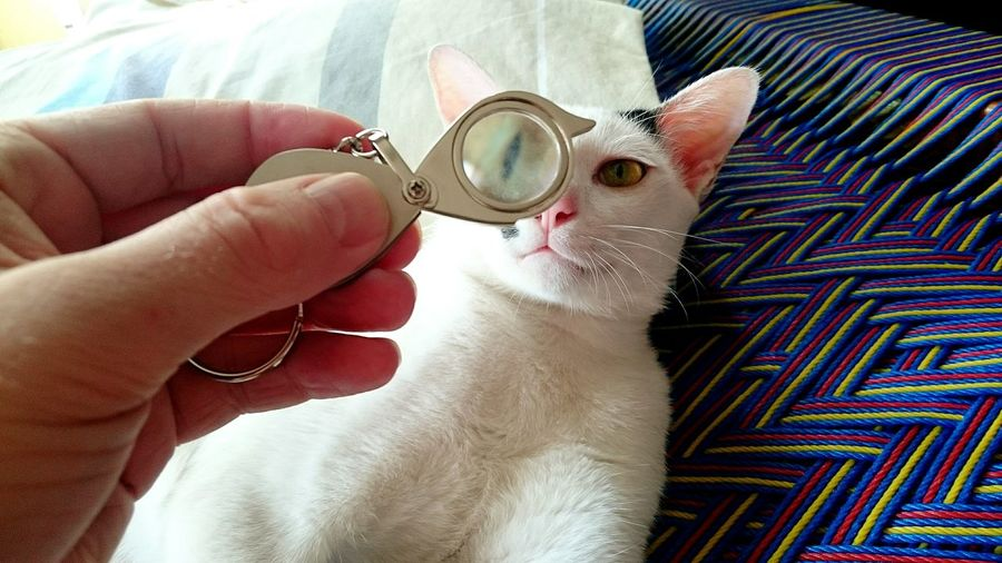 Person Hand Holding Magnifying Glass In Front Of Cat