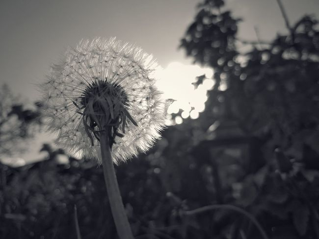Dendelion Nature Fragility Growth Close-up No People Snapseed B&w Nature Eye4photography  B&W_collection April 2017 B&w Photography EyeEmBestPics Blackandwhite Photography Capture The Moment Cloud - Sky SGS7 Lamp Springtime Make A Wish Blowing Windtravellers Thistle Day Sky