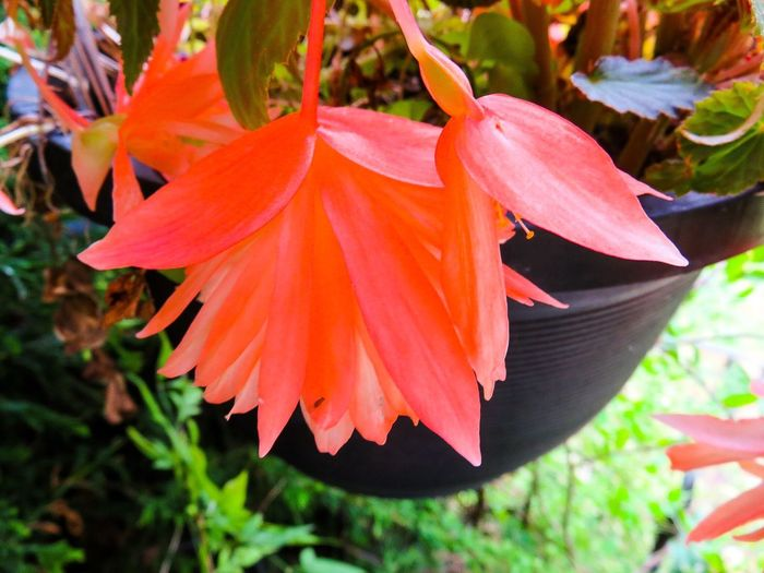 Beautiful Begonia 6444013
