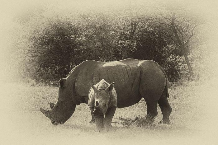 Rhinoceros White Rhino Namibia Animal Wildlife Baby Rhino Baby Rhino And Mom Waterberg Plateau National Park Molenaar Photography Holiday Travvelling
