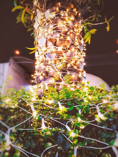 Plant Night Growth Nature No People Outdoors Illuminated Close-up Flower Freshness Beauty In Nature See The Light