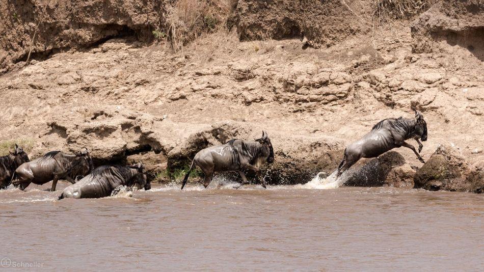 Animal Themes Nature Wildlife Animals In The Wild Kenya River Maasai Mara Afrika WildBeasts Wildbeast