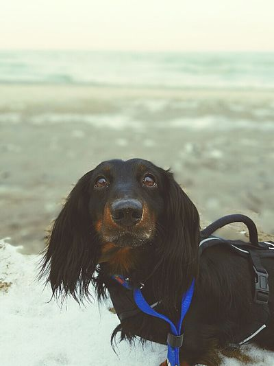 Frankie Dachshund Dog Weeniedog