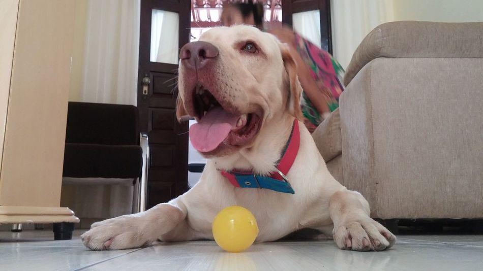 Dog Labrador A Dogs Life