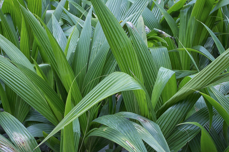palm leafs Palm Leaf Backgrounds Beauty In Nature Close-up Day Fragility Full Frame Green Color Growth Land Leaf Many Leaves Nature No People Outdoors Palm Leaf Palm Tree Pattern Plant Plant Part Plantation Tranquility Tree Vulnerability