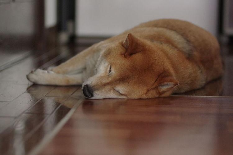 寝てばっかり(笑) しばいぬ しば 柴犬 Dog Shiba Inu Pets Lying Down Sleeping Relaxation Eyes Closed  Tired Resting