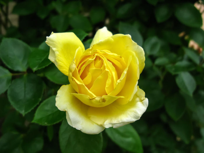 A close up of a yellow rose . Blooming Center Postion Day Fragility Freshness Greenery Leaf Nature No People, Petal Plant Yellow Flower Up Close Yellow Rose Click
