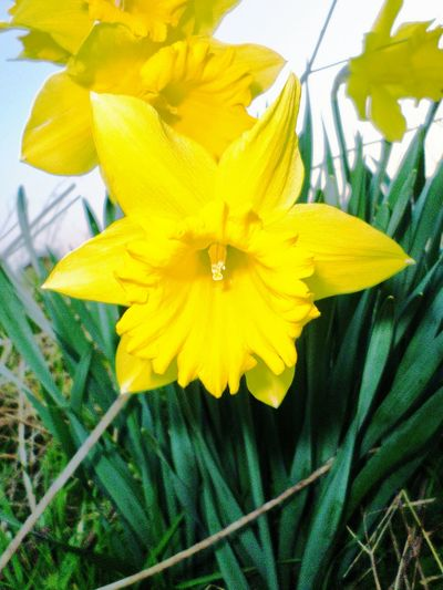 Flowers Daffodils Spring Has Arrived Belhus Walking The Dog PostcodeRM15 Nature On Your Doorstep South Ockendon
