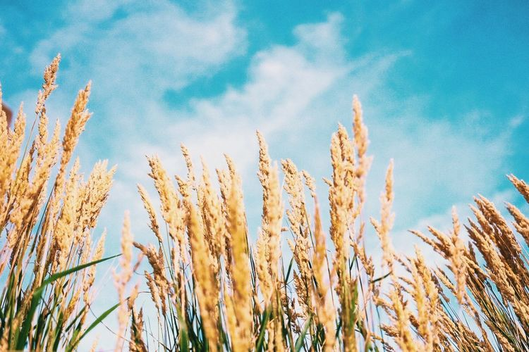 Abundance Agriculture Crop  Day Farm Field Growing Growth Nature No People Outdoors Plant Urban Farming Wheat