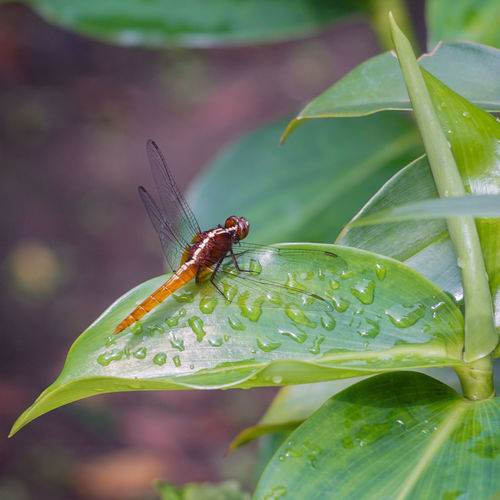 Martapura Pagi Animal Themes Animal Wildlife Animals In The Wild Beauty In Nature Biological Capung Close-up Damselfly Day Ekosistem Embun Focus On Foreground Green Color Growth Insect Leaf Nature No People One Animal Outdoors Plant