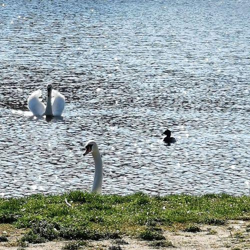 Bird Swan Water Swimming Lake High Angle View Water Bird Young Bird