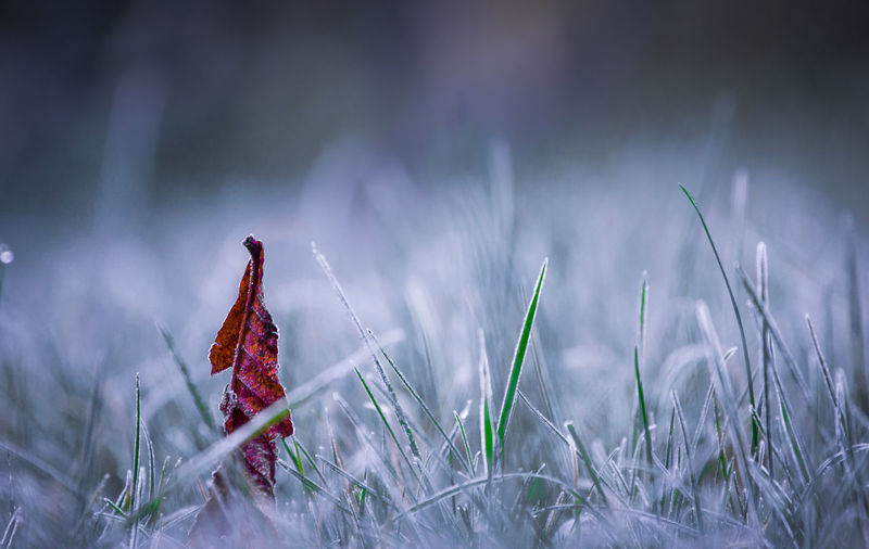 Close-up of dry leaf on frosted grass