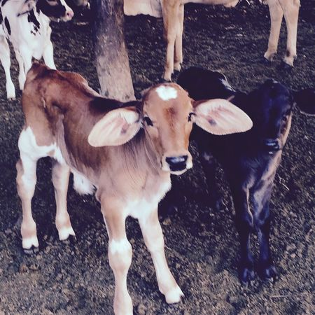 Two Is Better Than One Two Baby calves curiously look at the world around them. Two Is Better Than One. Cattle Calf Farm Life