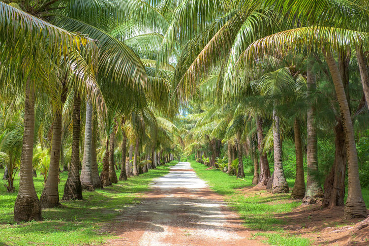 Footpath Amidst Palm Trees In Forest