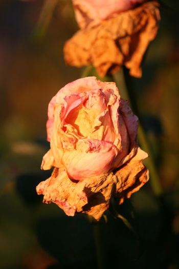 Autumn Autumn Collection Autumn Colors Autumn Sun Decay Low Light Pink Rose Autumn Colours Autumn Flower Autumn Flowers Autumn Light Autumn Sunset Colours Beautiful Autumn🍁🍁🍁 Low Light Photography Pink Flower Rose - Flower Roses