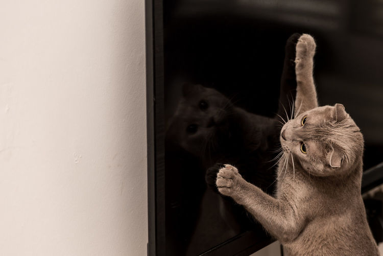 One Animal Window Indoors  No People Day Close-up Mammal Reflection_collection Reflection Tv Cat Animal Themes Cats Of EyeEm Cat Lovers Playing Fun Indoors  Focus On Foreground Pet Portraits The Week On EyeEm