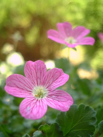 Flower Petal Fragility Nature Beauty In Nature Growth Blooming Flower Head Plant Freshness Pink Color No People Outdoors Focus On Foreground Day Close-up Periwinkle I Always Thinking About U, G I Want To Know Your Secret, C Nature Thank You,❤️ 감사합니다 사랑해요