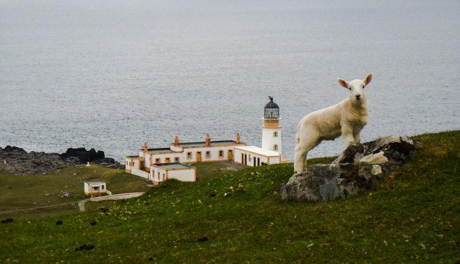Lighthousephotography Lighthouseview Lighthouse_lovers Scotland 💕 Isle Of Skye Lighthouse Photo Shoot Taking Photos Hello World Photo♡ Enjoying Life Sheep🐑