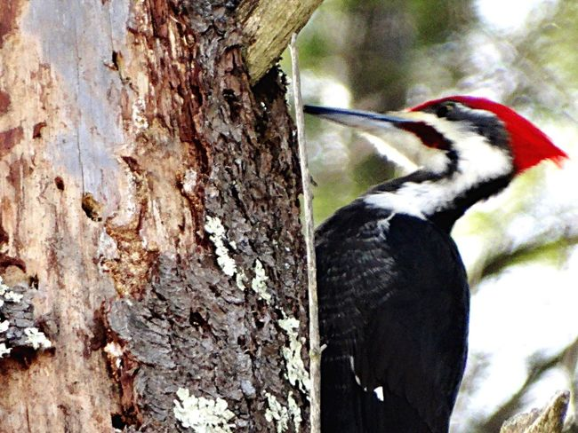 Piliated Woodpecker male One Animal Bird Animal Themes Animals In The Wild Animal Wildlife No People Wood - Material Day Woodpecker Low Angle View Outdoors Nature Perching Beak Close-up Tree