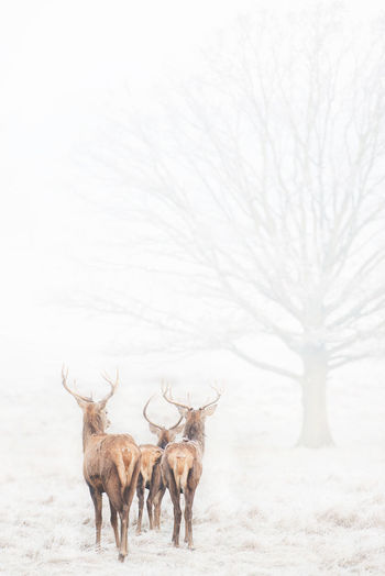 Adapted To The City Animal Themes Animal Wildlife Animals In The City Antlers Day Deer Deers Fog Foggy Morning Frost Large Group Of Animals Magnificent Mammals Mist Nature No People Outdoors Richmond Park, London Winter Winter Morning Tree Winter Trees Scenic View Deerstand Lost In The Landscape Perspectives On Nature