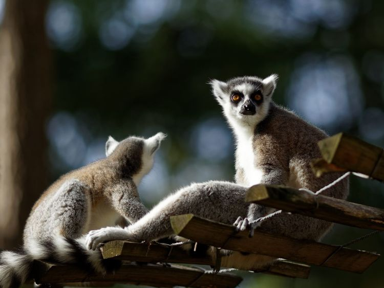 See The Light Animal Themes Animal Animal Wildlife Mammal Lemur Focus On Foreground Two Animals Primate Group Of Animals Looking Away