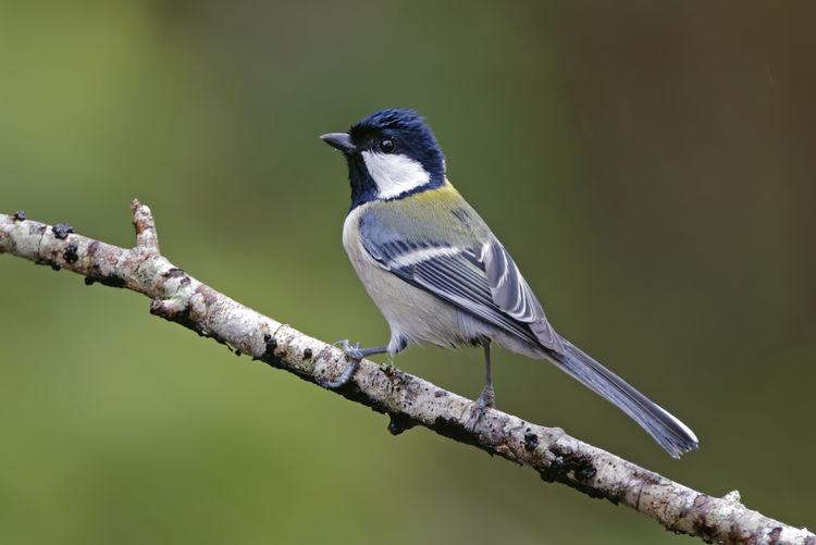 Close-up of great tit perching on branch