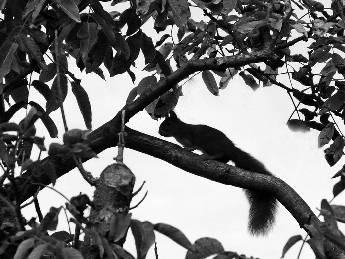 exterior shooting Animal And Nature Black And White Collection! Black Squirrel Animal Silhouette Beauty In Nature Full Lenght Long Tail One Animal Public Park Running On Branch White Background One Squirrel Wildlife