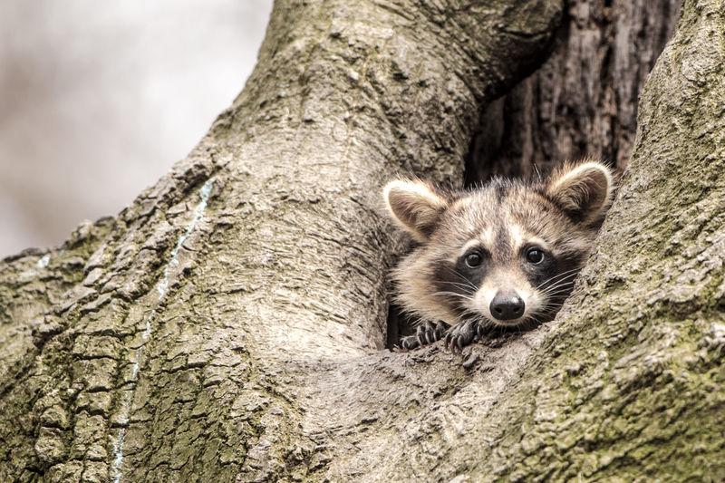 Raccoon Raccon