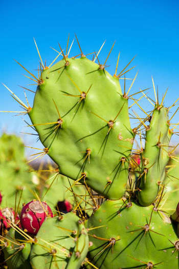 cactus pear Lanzarote Lanzarote Island Lanzarote-Canarias Lanzarote Collection Canary Islands Canaryislands Canary Canaries Volcano Volcanic Landscape Volcanic Crater Volcanic Rock Prickly Pear Cactus Prickly Pear Prickly Pear Flowers Cactus Pear Cactus Cactus Flower