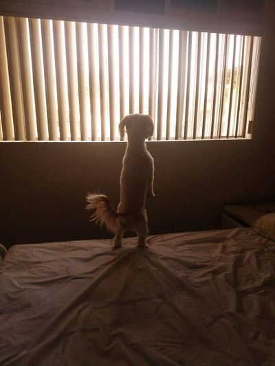where's Daddy 💕 Puppy❤ Puppy Love Puppy Face Puppet Puppy Photography Maltese Dog Maltese Maltese Life Maltese, Puppy, WindowsPhonePhotography Windows Pets Child Childhood Full Length Curtain Elephant Window Cute Standing Lap Dog
