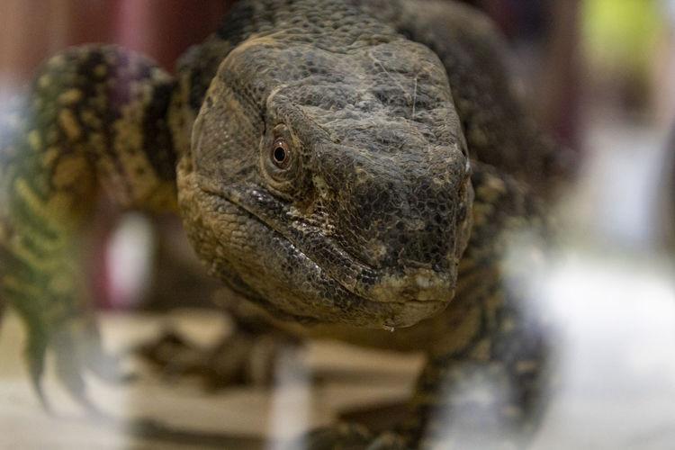 Close-up portrait of a lizard