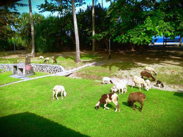 Beach Side Grass Domestic Animals Animal Themes Tree Livestock Dog Mammal Sheep Grazing Outdoors Nature Day Togetherness Young Animal No People Flock Of Sheep Pets Sommergefühle