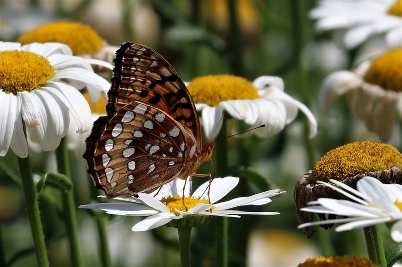 Daisy Animal Themes Animal Wildlife Animals In The Wild Beauty In Nature Blooming Butterfly Butterfly - Insect Close-up Day Flower Flower Head Focus On Foreground Fragility Insect Nature No People One Animal Outdoors Plant Pollination