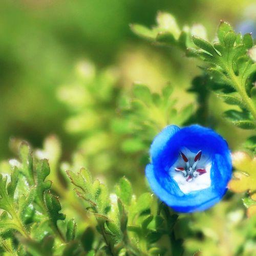 瑠璃唐草 Flower Day 花 ネモフィラ BabyBlueEyes Blue 青 Blueflower Spring 春 Cute 可愛い