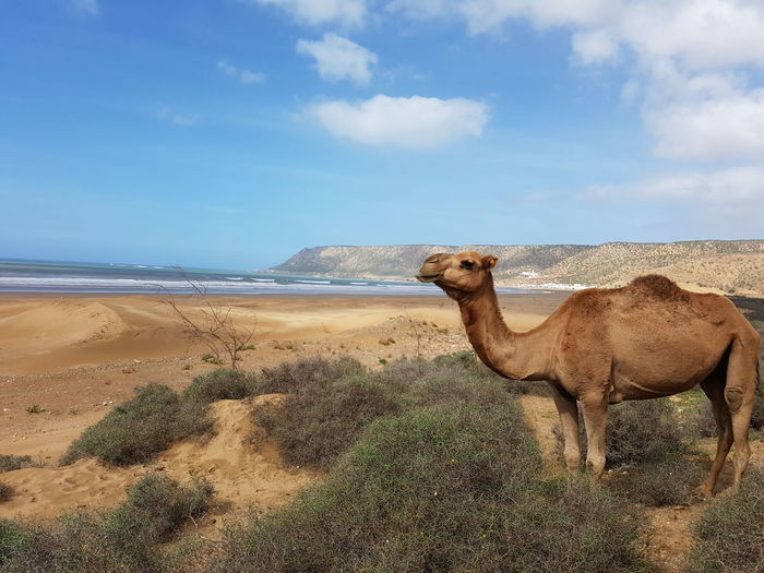 Beach Africa Sand Dune Desert Sand Camel Sky Cloud - Sky Shore Sandy Beach Remote Horizon Over Water Countryside
