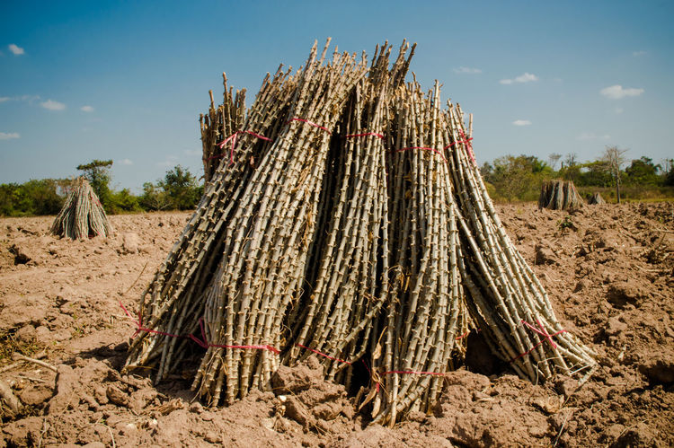 Arid Climate Cassava Cassava Farm Day Deforestation Dirt Field Firewood Land Landscape Large Group Of Objects Log Nature No People Non-urban Scene Outdoors Plant Sky Stack Sunlight Tree Wood Wood - Material
